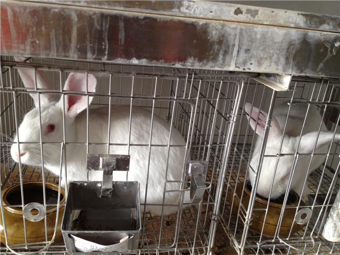 兔子实验步骤图片
